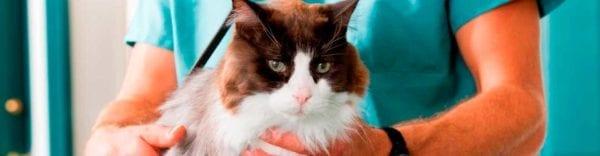 Hipertiroïdisme i hipertensió felina