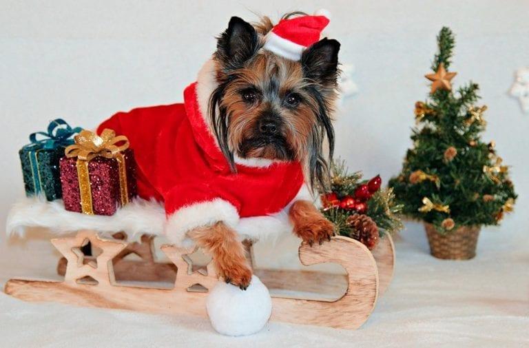 Yorkshire terrier con adornos de Navidad