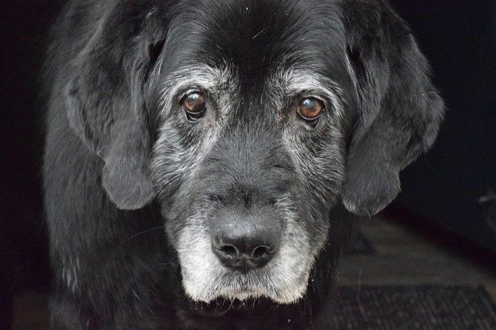 gos gran sènior